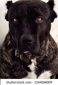 Big dog Perro de Presa Canario with beautiful sad eyes