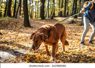 Big dog is pulling pet owner in autumn forest. Woman is walking with her retriever outdoors