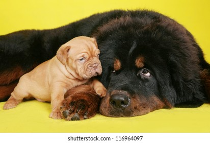 Big dog and puppy on yellow background.