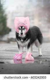 a big dog in a rain suit