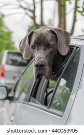 Big dog rides in the car.