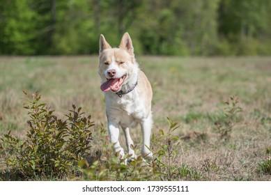 Big dog running on a meadow