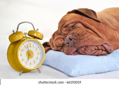 Big Dog Sleeping Sweetly with Golden Alarm-Clock