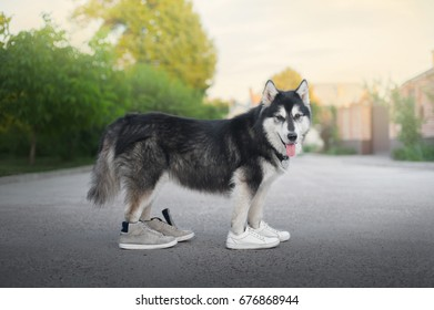 big dog in sneakers for a walk