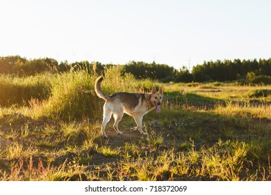 Big dog standing in grass looking at camera on meadow in sunset lights.