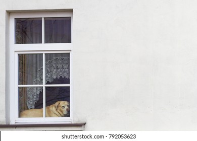 Big dog waiting for owner looking through the window