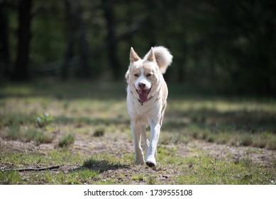 Big dog walking alone proudly