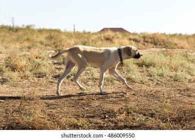 big dog walking in a field