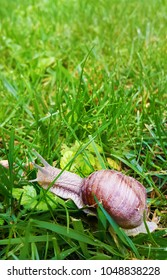 Big domestic snail in garden grass in spring