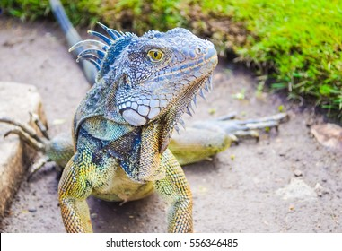 Big dragon iguana close up in Guayaquil park in Ecuador with scale on the skin, spikes on the back and soft focus