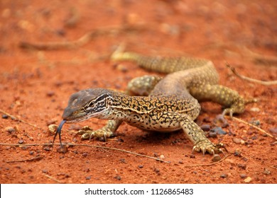 A big dragon or lizard or goanna  with a black splitted tongue walking and moving in the Australian wilderness of the red desert, taking a sunbath or looking for food