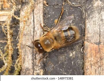 big drone bee (male honey bee)