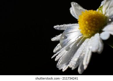 Big drop among droplets on daisy petals