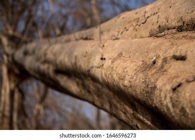 Big dry tree closeup. Tree texture.