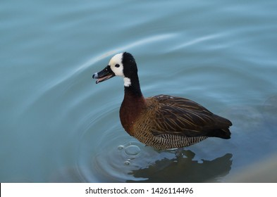 A big duck stands in water and quacks rippling the water in the meanwhile