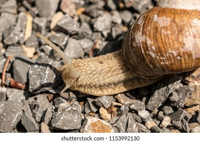 Big edible snail on stony ground in the forest