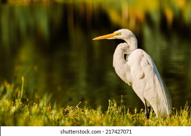 A Big Egret land and stares right at photographer!