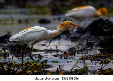 Big egrets are looking for food in the fields. Ardea alba, also known as regular egrets, large egrets or (in the Old World) large white herons or large white herons