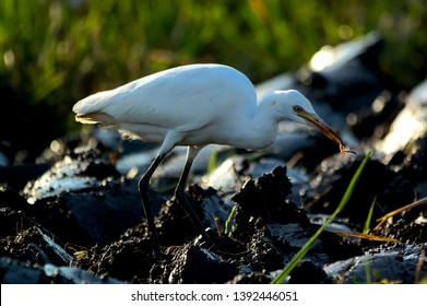 Big egrets are looking for food in the fields. Ardea alba, also known as regular egrets, large egrets or (in the Old World) large white herons or large white herons - Image