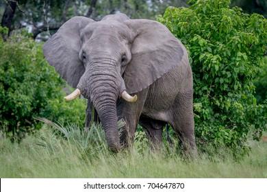 Big Elephant bull starring at the camera in the Okavango Delta, Botswana.