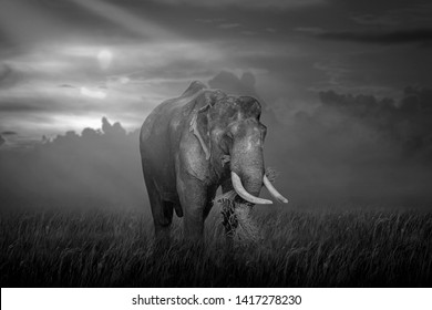 The big elephant is eating grass in the grass field, black and white style