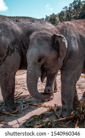 Big Elephant - Elephant Family -  Elephant profile picture - Elephant sanctuary in Chiang Mai, Thailand