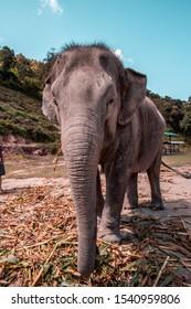 Big Elephant - Old Elephant -  Elephant profile picture - Elephant sanctuary in Chiang Mai, Thailand