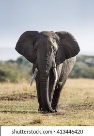 Big elephant in the savanna. Africa. Kenya. Tanzania. Serengeti. Maasai Mara. An excellent illustration.