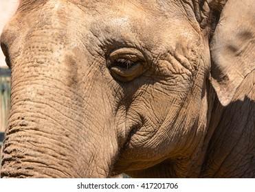 Big elephant smiling face