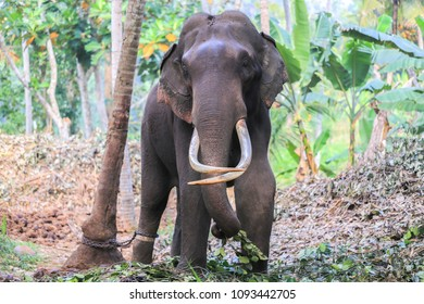 Big elephant with tusks in the jungle