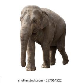 Big elephant walking at sunny day isolated on white background