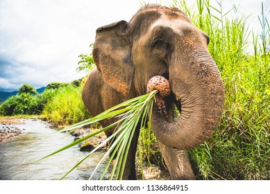 Big elephant in wild environment, eating bamboo plants.