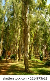 Big eucalyptus tree in the eucalyptus forest. The leaves of this tree are used as raw material for making eucalyptus oil. This forest has lush leaves and towering tree trunks.