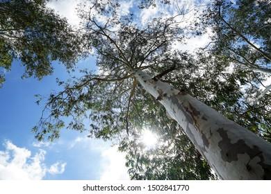 Big Eucalyptus tree looking up at the blue sky.