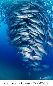 Big eye Trevally Jack, (Caranx sexfasciatus) Forming a polarized school, bait ball or tornado. Cabo Pulmo National Park, Cousteau once named it The world's aquarium. Baja California Sur,Mexico.