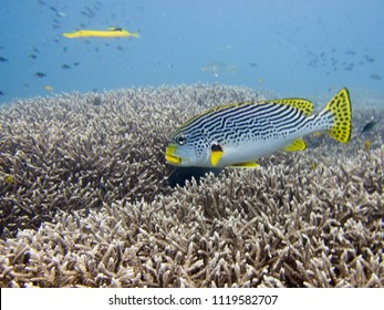 Big Eye Yellow Snapper Fish in Underwater Coral Garden