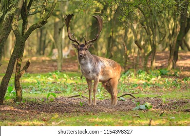Big Fallow deer buck, Dama Dama, with large antlers walking in a green forest during Autumn season.