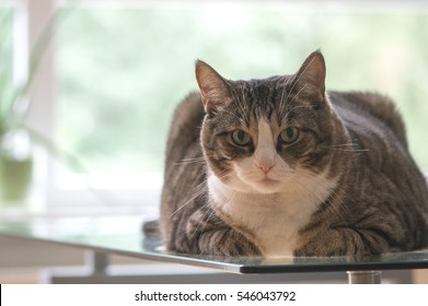 Big fat cat with stripes on a glass table