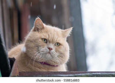 big fat ginger cat. winter on the street