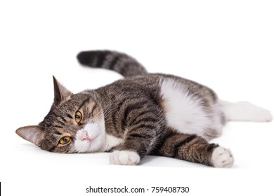 Big, fat gray cat lazily lying on a white background, isolated