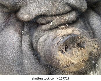 Big fat pig