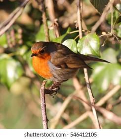 Big fat robin redbreast