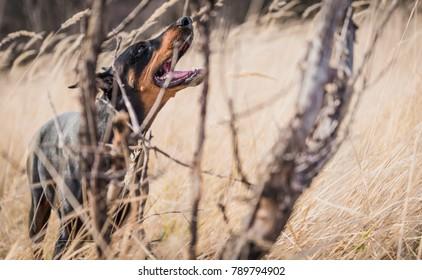 Big Female of Doberman pinscher posing outdoor,selective focus
