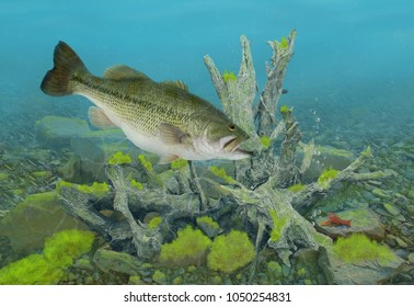 A big female Largemouth bass and crayfish underwater with tree roots and mossy rocks in the background.
