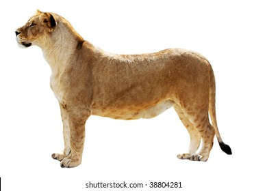 Big female lion stands isolated on the white
