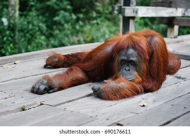 Big female orangutan rest in a dock, watching how tourists photographing her, in Tanjung Puting National Park, Indonesia