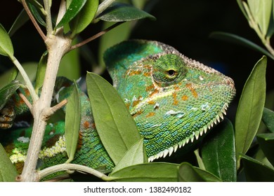 Big Female of Veiled chameleon or Yemen chameleon (Chamaeleo calyptratus) Showing sloughing of skin in pieces on body