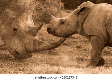 A big female white rhino and her baby calf, together in this nuturing, teaching photo taken in South Africa.