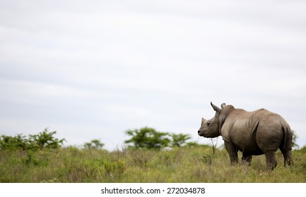 A big female white rhino / rhinoceros and her baby calf, together in this nurturing, teaching photo taken in South Africa.