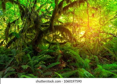 Big Ferns on Hall of Mosses Trail in the Hoh Rain Forest in Olypmic National Park in Washington State in the United States